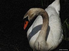 300-swans-mar-050417_127
