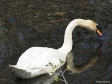 00-swans-mar-050417_137
