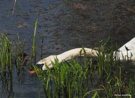 300-swans-mar-050417_141