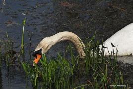 300-swans-mar-050417_142