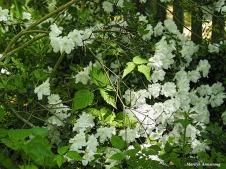 300-white-azalea-mid-may-051817_022