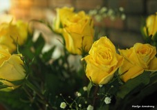 300-yellow-roses-051417_003