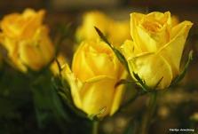 300-yellow-roses-051417_008