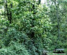 180-Catalpa-Tree-Two-062417_001