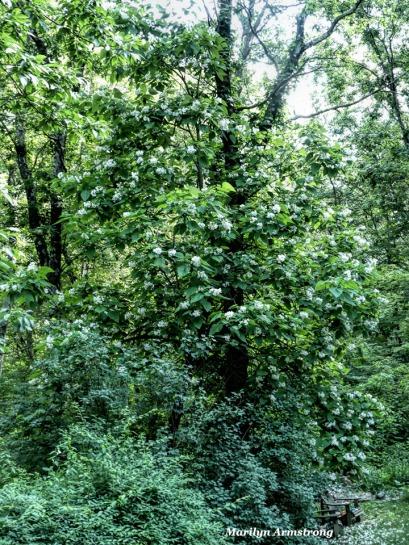 180-Catalpa-Tree-Two-062417_006