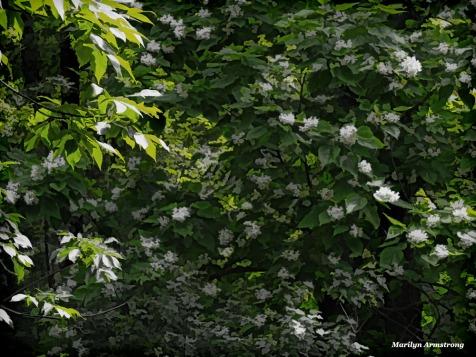 300-buzz-catalpa-in-bloom-062317_007