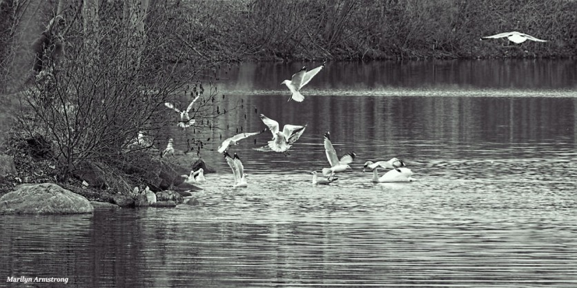 300-bw-birds-flying-swans-mar-030816_055