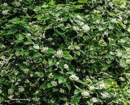 300-catalpa-in-bloom-062317_005