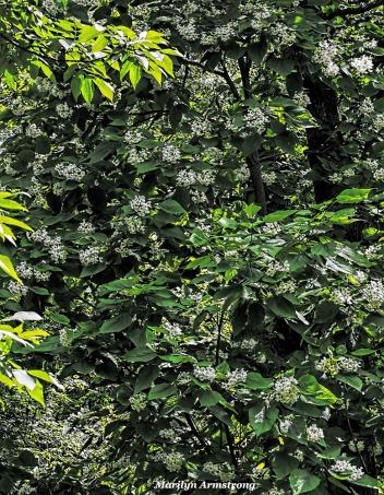 300-catalpa-in-bloom-062317_015