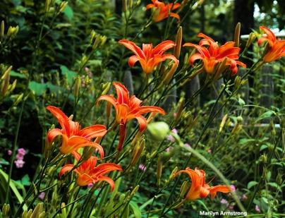 300-lilies-garden-062517_006