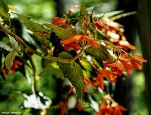More orange begonias