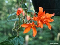 300-orange-begonias-061417_011
