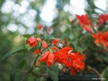 300-orange-begonias-061417_015