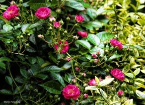 300-pink-roses-garden-062517_023