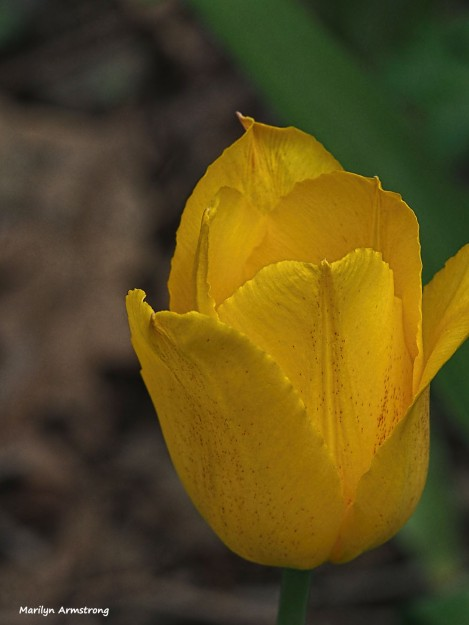 300-yellow-tulip-may-garden-omd_050317_098
