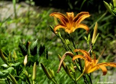 180-Lily-Garden-July-2-070217_005