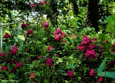 180-Roses-Garden-July-2-070217_009