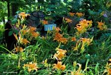 300-lilies-tractor-4-garden-july-3-garry-070317_039
