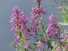 180-Purple-Flowers-Roaring-Dam-2-MAR-082617_032