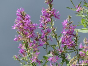 180-Purple-Flowers-Roaring-Dam-2-MAR-082617_032