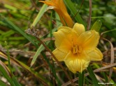 Growing wild by the river, a yellow daylily