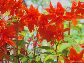 300-orange-begonias-2-091617_023