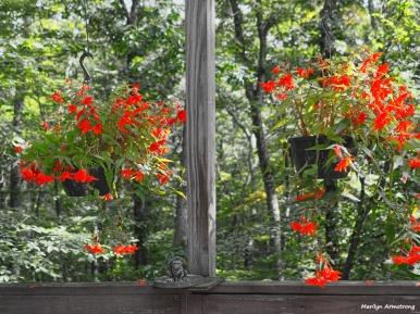 Two orange begonias