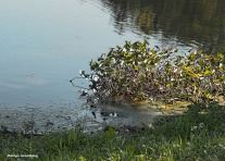 300-water-lilies-river-bend-mar-092317_076