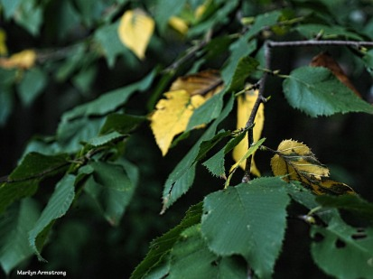 300-yellow-leaves-late-sept-deck-mar-092517_018