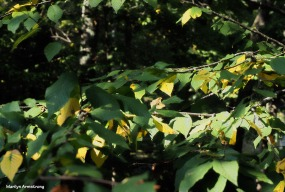 300-yellow-leaves-late-sept-deck-mar-092517_024