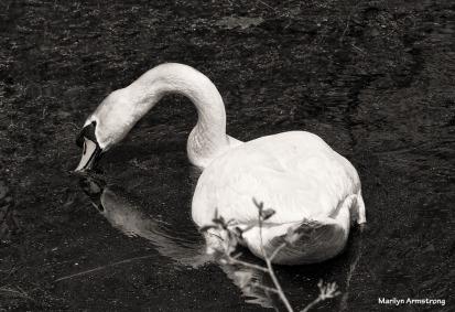 180-bw-swan-whitinsville-mar-050417_138