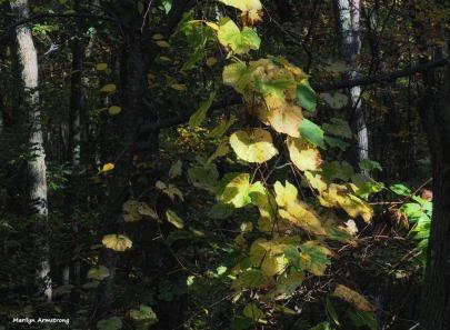 300-vines-foliage-3-oly-101017_064