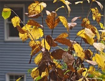 300-yellow-leaves-rain-foliage-ga-10252017_131