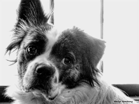 180-BW-Duke-2-Dogs-at-play-09272017_003