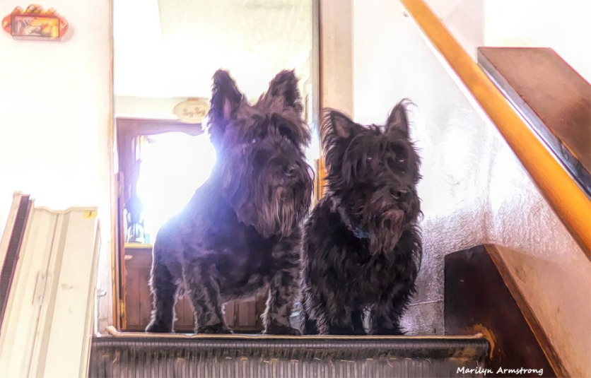 Together, they are two Scottish Terriers