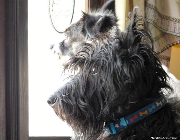 180-Gibbs-Duke-Late-Nov-Dogs11212017_008