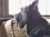 Gibbs is also a Scottish Terrier