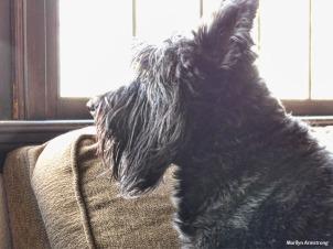 Gibbs is also a Scottish Terrier