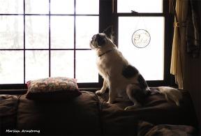300-duke-top-of-sofa-november-dogs-11082017_11