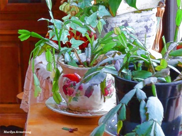 180-Christmas-Cactus-Early-December-12042017_011