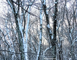 180-Snowy-Trees-First-Snow-12102017_05