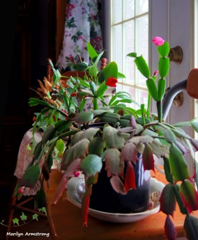 180-Christmas-Cactus-01302018_008