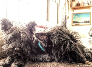 Bonnie and Gibbs - Two Scottish Terriers