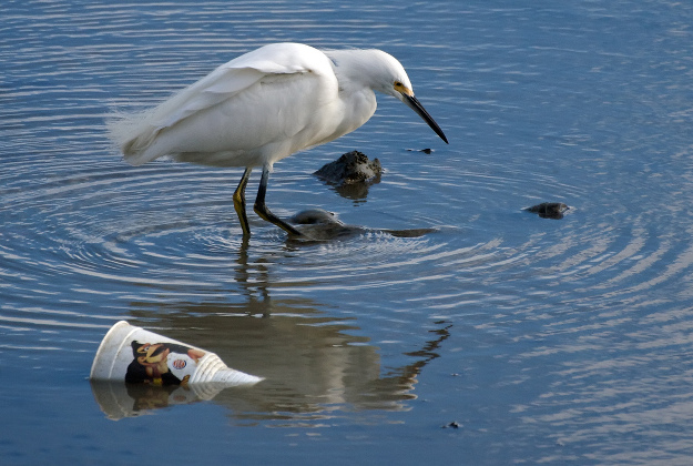Egret and garbage in water