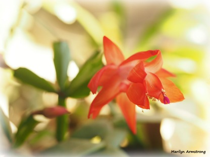 180-christmas-cactus-3-02052018_037