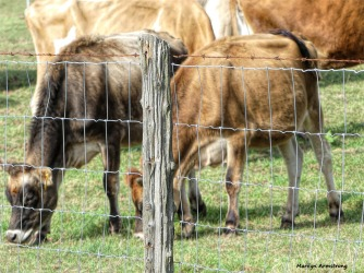 180-Cows-Fence-Pasture-Farm-Mar-100517_137