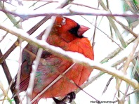 A cardinal in winter