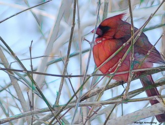 The most scarlet bird - our Cardinal in the snow