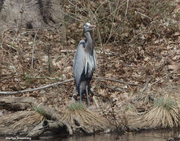 180-Graphic-Great-Blue-HERON_058