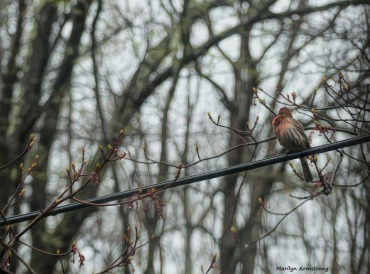 180-Graphic-Red-Finch-042617_030B